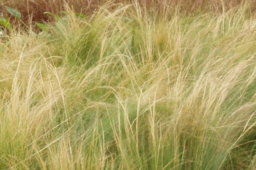 Nassella t.-Mex. Feather Grass II