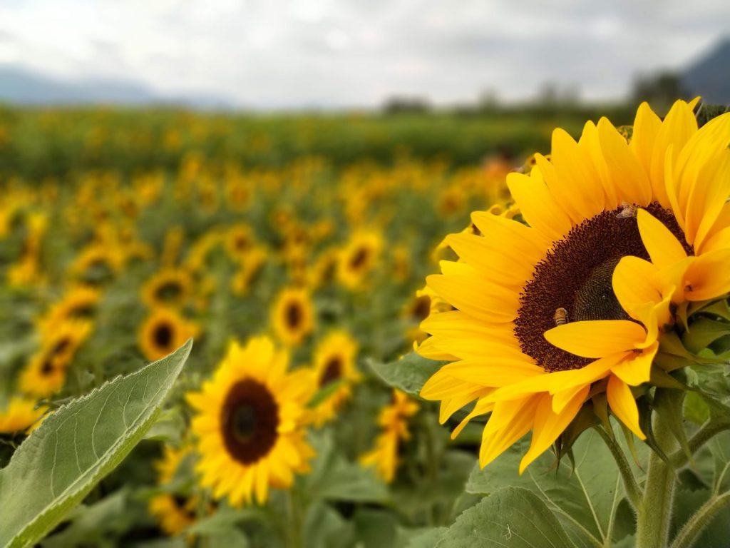 sunflower-sunflowers-field-flowers-bees-flower-yellow-plant-flowering-plant-sunflower-seed-daisy-family-sky-wildflower-plantatio