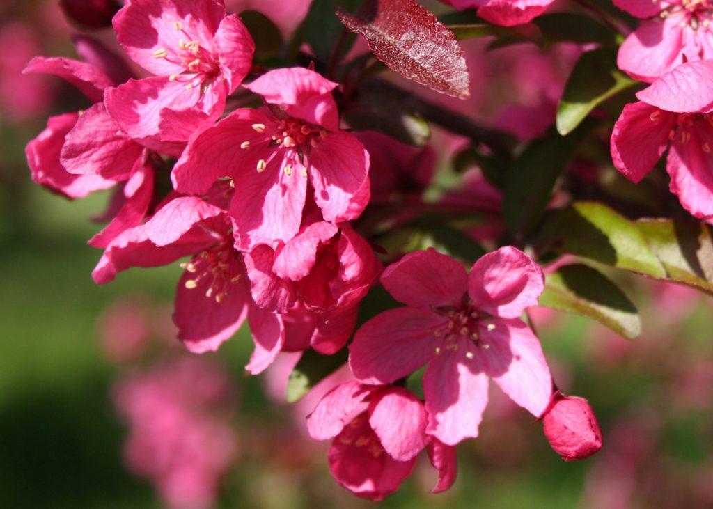 Prairiefire-crabapple-flower
