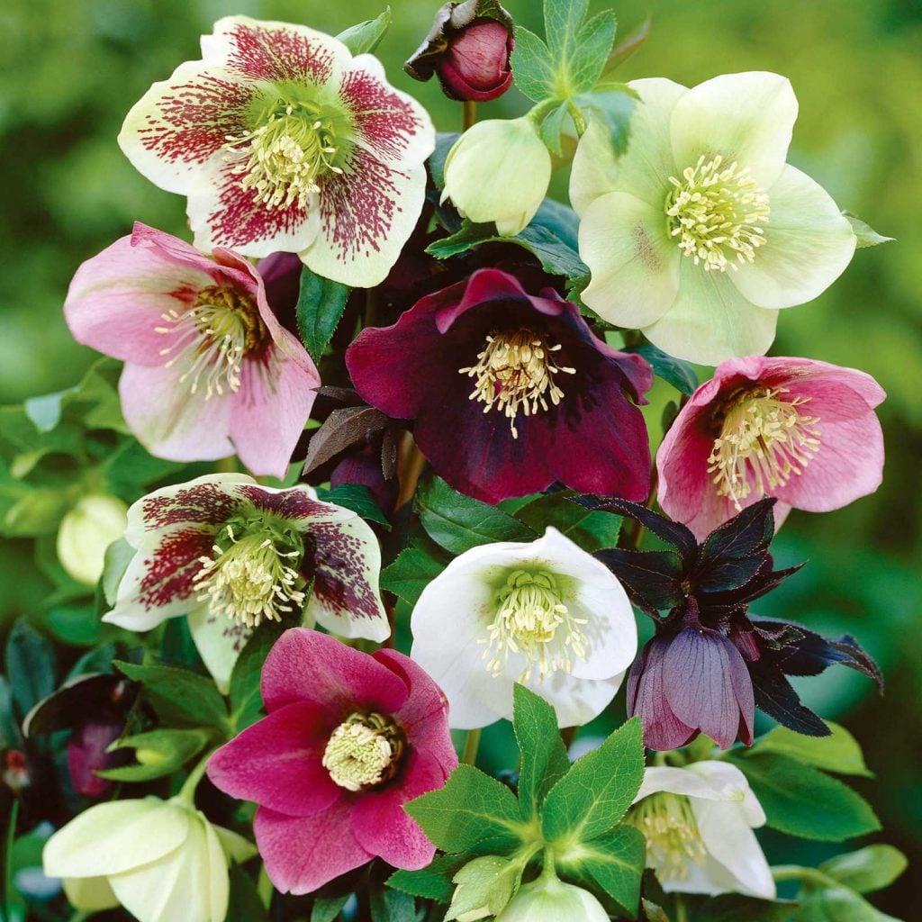 Lenten-Rose